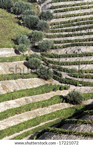 General view of the world famous vineyards of Porto wine. - stock photo