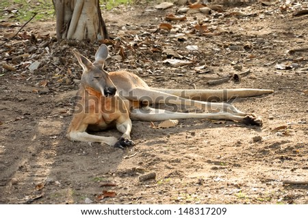 Generally, we recognize that the kangaroo is an animal that is a symbol of Australia. - stock photo