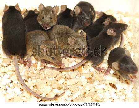 Genetic modified mice. Nest of baby mice in black and brown (agouti).