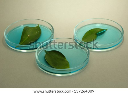 Genetically modified leaves tested in petri dish, on grey background - stock photo