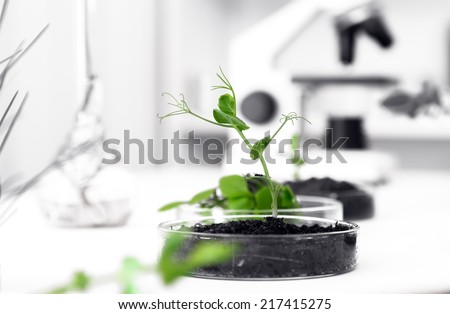 Genetically modified plant tested in petri dish Ecology laboratory. - stock photo