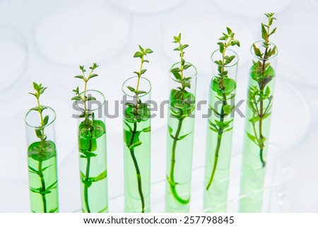 Genetically modified plants. Plant seedlings growing inside of test tubes - stock photo
