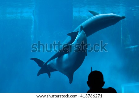 GENOA, ITALY - MARCH 22, 2016: Visitor observes as two common bottlenose dolphins (Tursiops truncatus) have sex in the Genoa Aquarium in Genoa, Liguria, Italy.