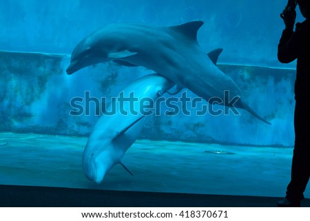 GENOA, ITALY - MARCH 22, 2016: Visitor takes photos as two common bottlenose dolphins (Tursiops truncatus) have sex in the Genoa Aquarium in Genoa, Liguria, Italy.