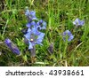 Gentian - stock photo