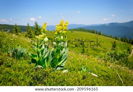 Gentian (Gentiana lutea) on a background of mountains and blue sky - stock photo