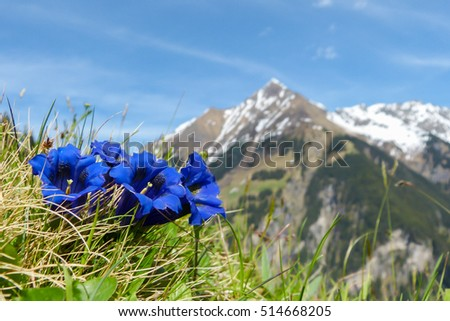 Gentian in the austrian Alps