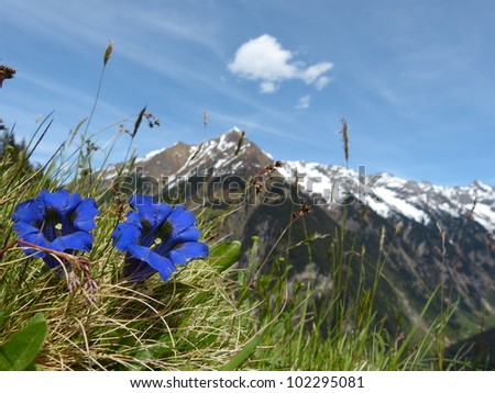 Gentian spring flower of the Alps - stock photo