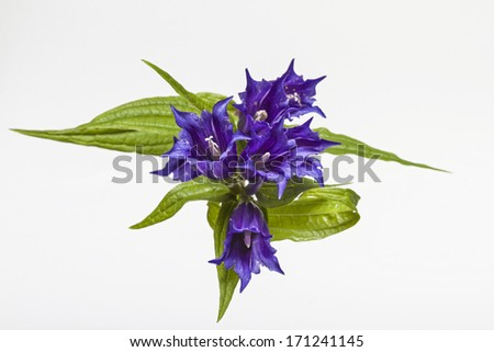 Gentiana asclepiadea on white background , - stock photo