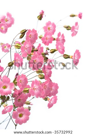 gentile pink flowers on the white background - stock photo
