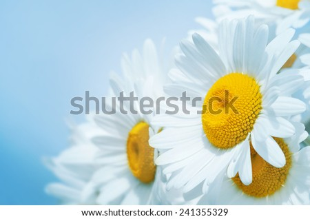Gentle background of beautiful daisies - stock photo