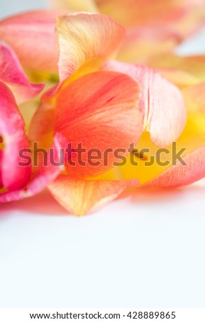 gentle blown bright yellow and pink tulips closeup on a white background - stock photo