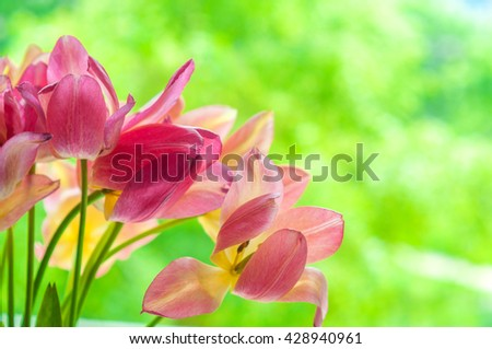gentle blown bright yellow and pink tulips on blurred green background - stock photo