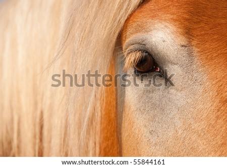 Gentle Eye of a blonde Belgian Draft Horse gelding - stock photo