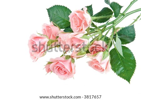 Gentle inflorescence of pink rose buds in drops of water on a white background - stock photo