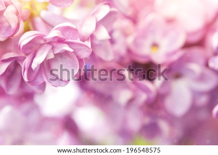 gentle lilac flower close up - stock photo