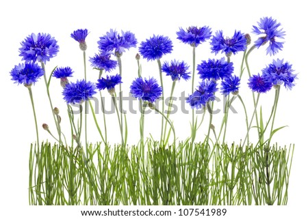 Gentle lonely blue cornflowers and buds  meadow fragment concept border. Isolated on white.