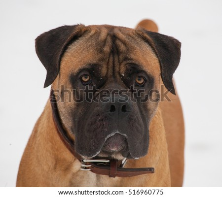 Gentle look... Closeup portrait of a beautiful dog breed South African Boerboel