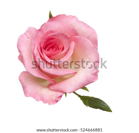 gentle pink rose isolated on white background