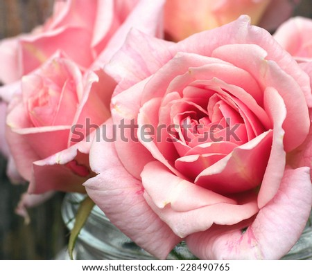 Gentle pink roses - stock photo