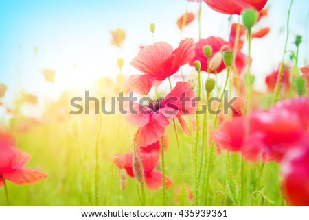 Gentle poppies in a field on a bright sunny day - stock photo