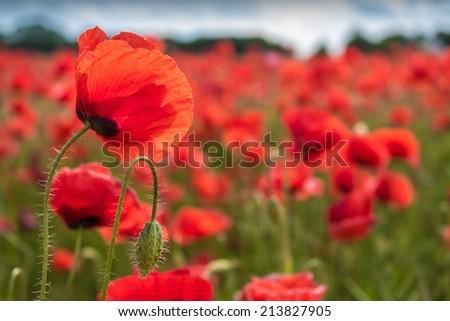 Gentle poppy flower with poppy flower bud - stock photo