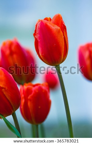 gentle red tulips bloomed in early spring in a city Park, close up shot - stock photo
