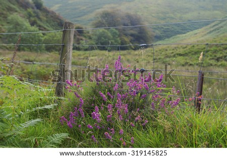 Gently Rolling Hills with a Flowering Pink Heather Shrub (Calluna vulgaris) in the Valley of the River Barle near Simonsbath on Exmoor National Park in Somerset, England, UK - stock photo