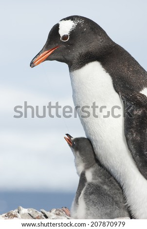 Gentoo penguin adult and chick - stock photo