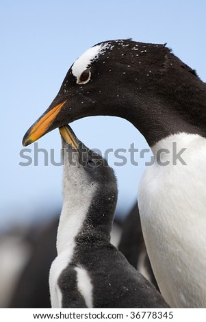 Gentoo penguin chick asking its parent for food - stock photo