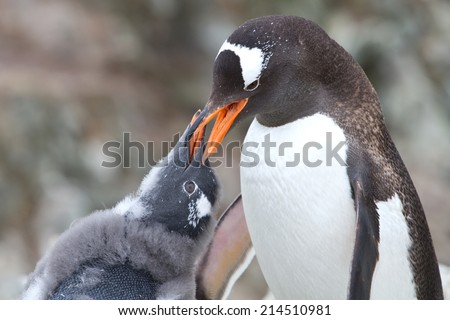 Gentoo penguin chick begging for food from that of an adult bird - stock photo