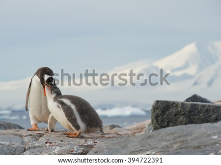 Gentoo penguin feeding chick on rocky beach, with clean background and mountain silhouette, Antarctic Peninsula - stock photo