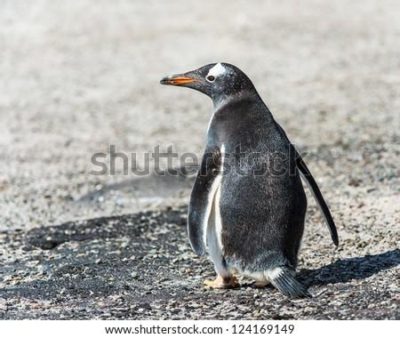 Gentoo penguin from the back.  Falkland Islands, South Atlantic Ocean, British Overseas Territory - stock photo