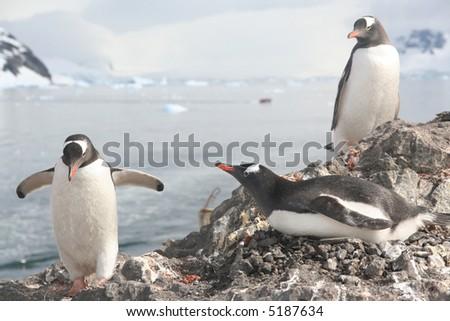 Gentoo penguin, greeting its mate on nest,[Pygoscelis papua],Almirante Brown,Antarctica - stock photo