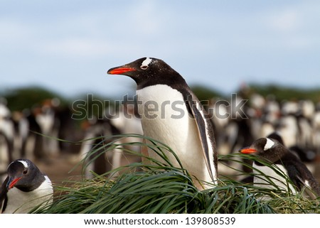 Gentoo Penguin is sitting in his nest - stock photo