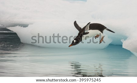 Gentoo Penguin jumping in the water