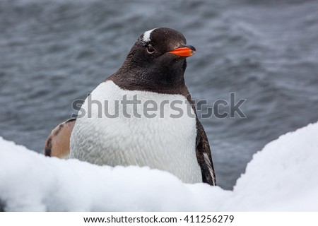 Gentoo penguin looking at the camera against ocean in Antarctica - stock photo