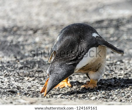 Gentoo penguin looks for the food.  Falkland Islands, South Atlantic Ocean, British Overseas Territory - stock photo