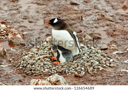 Gentoo penguin mother with chick sitting in nest, Cuverville Island, west coast of Antarctic Peninsula - stock photo