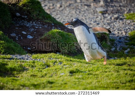 Gentoo penguin near Stomness Harbor on South Georgia - stock photo