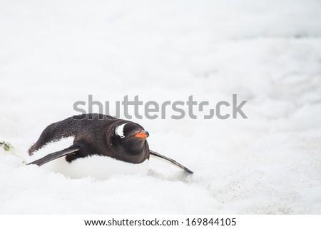 gentoo penguin on snow in antarctica. The long-tailed gentoo penguin is a penguin species in the genus Pygoscelis - stock photo