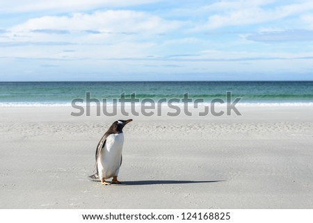 Gentoo penguin on the coast.  Falkland Islands, South Atlantic Ocean, British Overseas Territory - stock photo