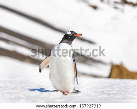 Gentoo penguin poses for the camera - stock photo