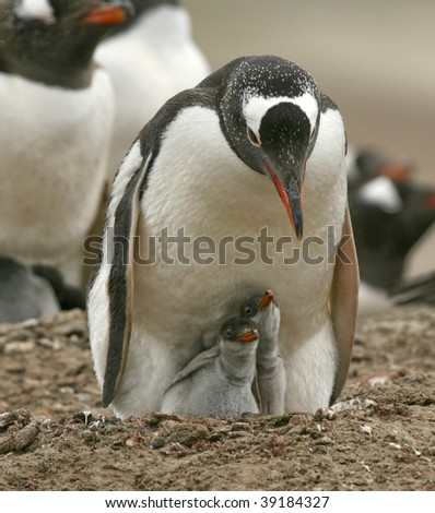Gentoo penguin (Pygoscelis papua) caring for its chicks on the Falkland Islands - stock photo