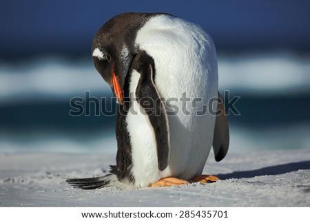 Gentoo penguin, Pygoscelis papua , cleaning plumage on the white beach with dark blue sea wave, Falkland Islands   - stock photo