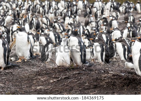 Gentoo Penguin - Pygoscelis papua - Falkland Islands - After rain / Gentoo Penguins - Mother with chick, penguin colony in background - stock photo
