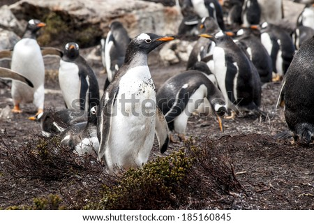 Gentoo Penguin - Pygoscelis papua - Gentoo Penguin Colony - Falkland Islands / Falkland Islands - Gentoo Penguin - stock photo
