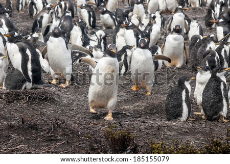 Gentoo Penguin - Pygoscelis papua - Gentoo Penguin Colony - Falkland Islands / Gentoo Penguin - If I Catch You ... - stock photo