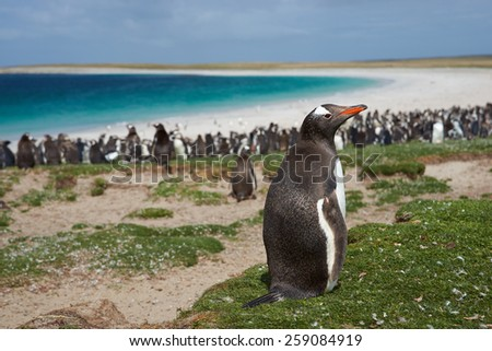 Gentoo Penguin (Pygoscelis papua) on Bleaker Island in the Falkland Islands. Thousands of Gentoo Penguins and Magellanic Penguins (Spheniscus magellanicus) crowd the beach in the background. - stock photo