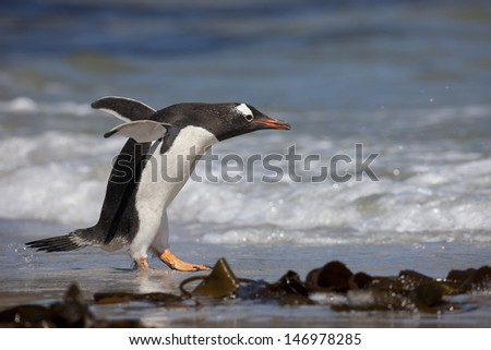 Gentoo Penguin (Pygoscelis papua papua), adult running into the surf on Saunders Island in the Falklands. - stock photo
